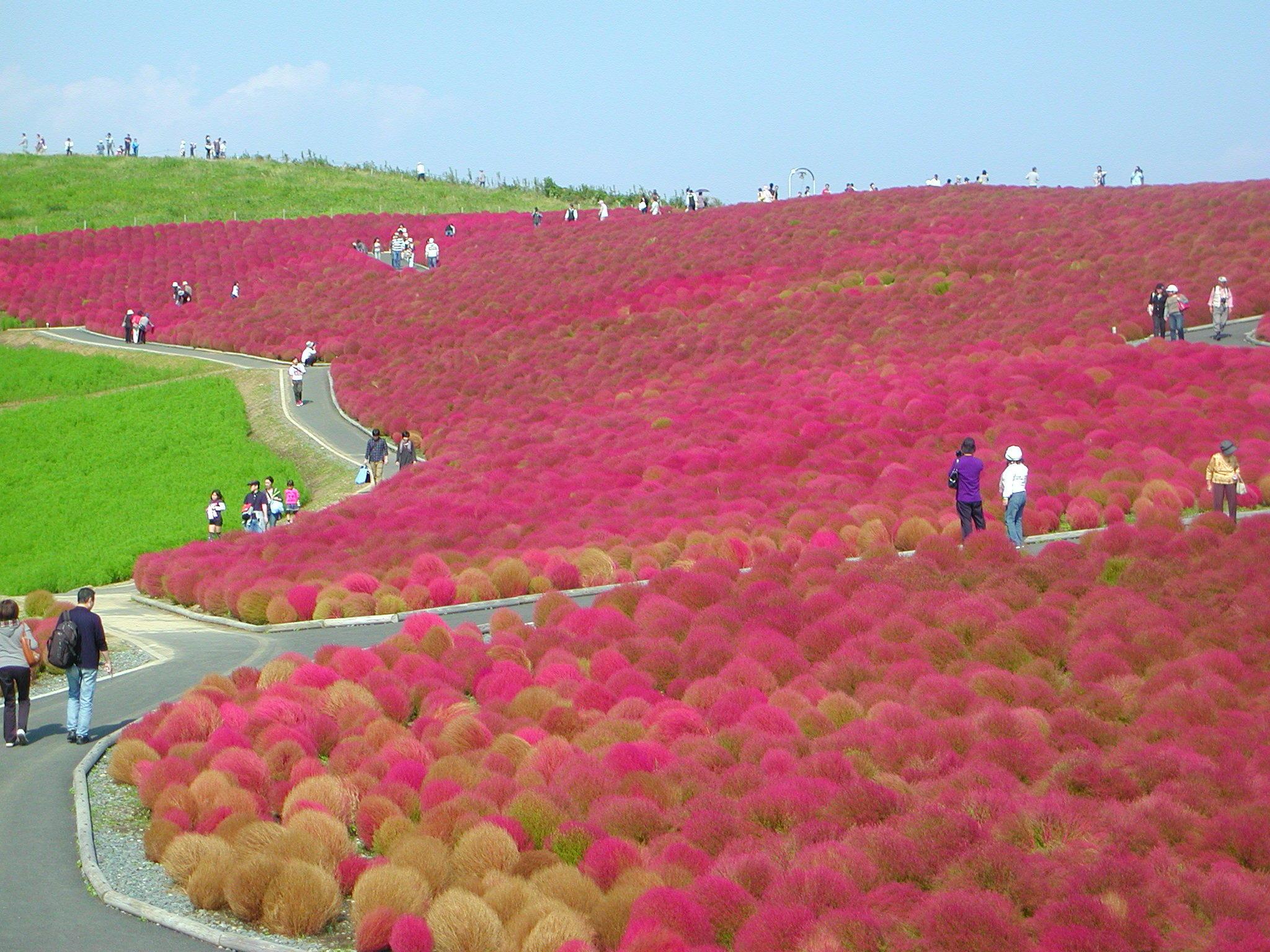 ?秋、10月、コキアが丘を赤く染めます?