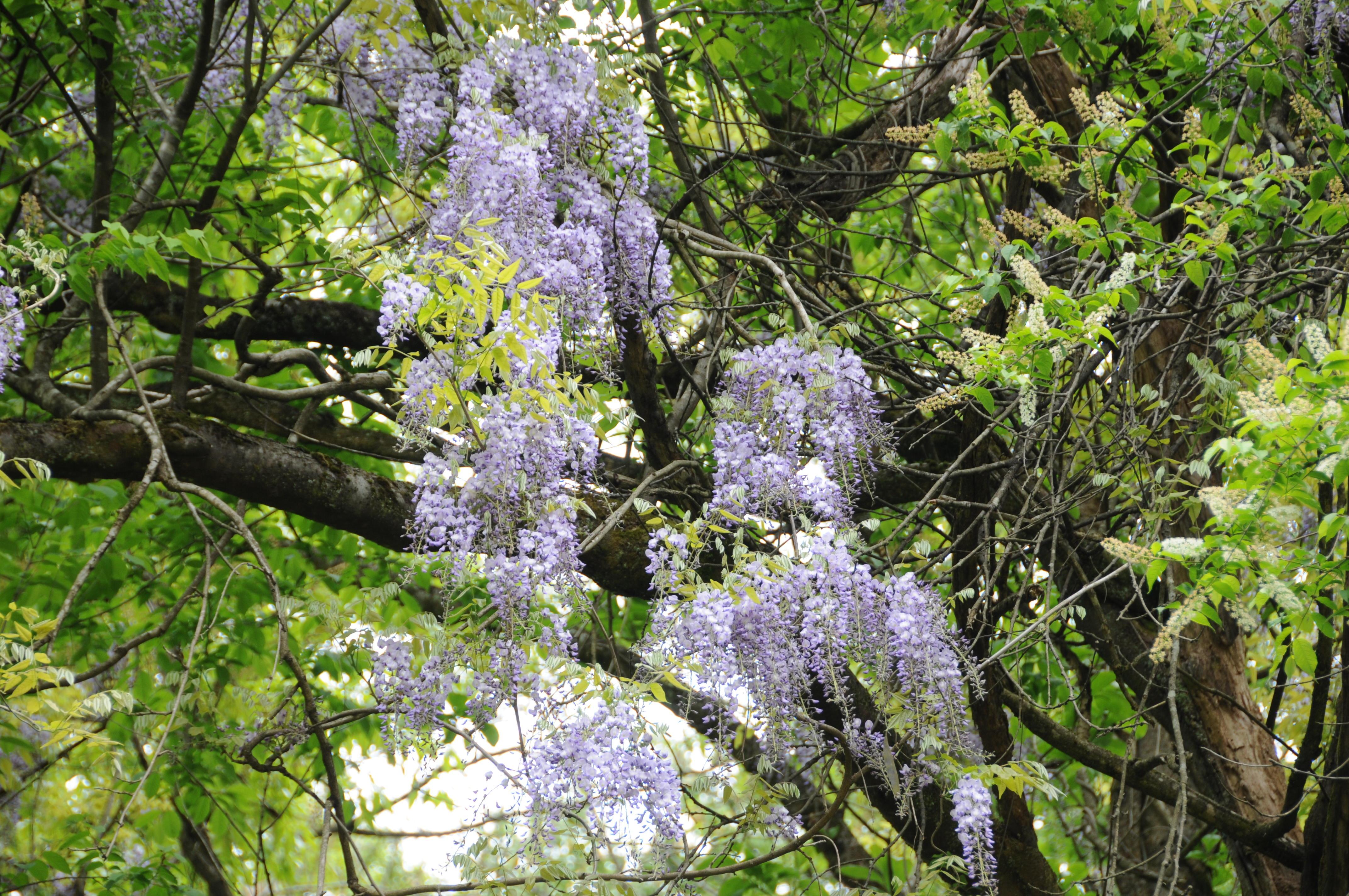 裏山の藤の花