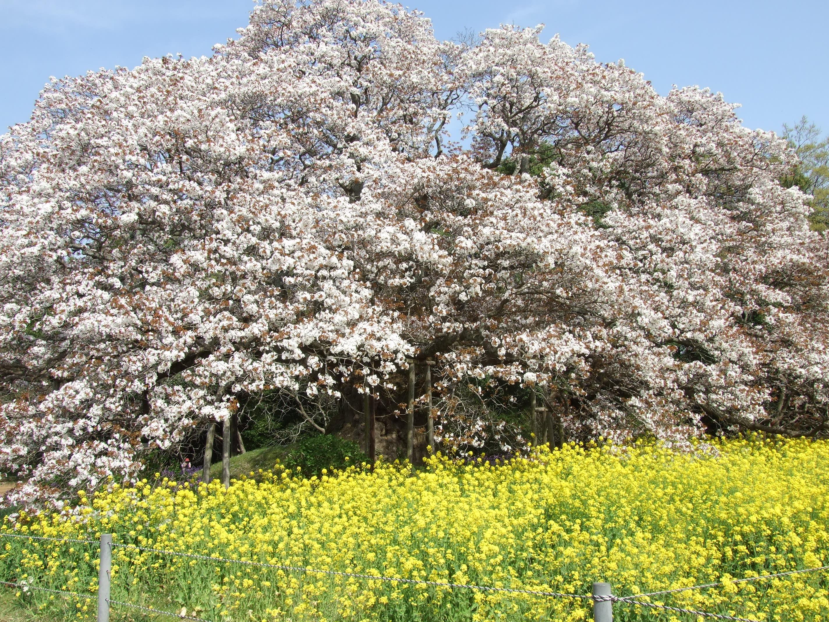 吉高の一本桜