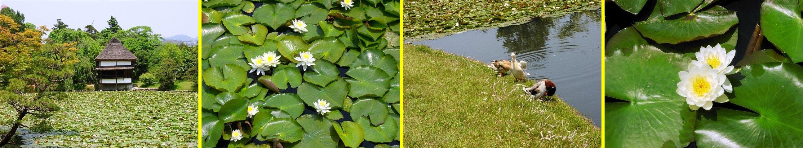 1,000株の睡蓮が池の一面を被って、とても綺麗です。