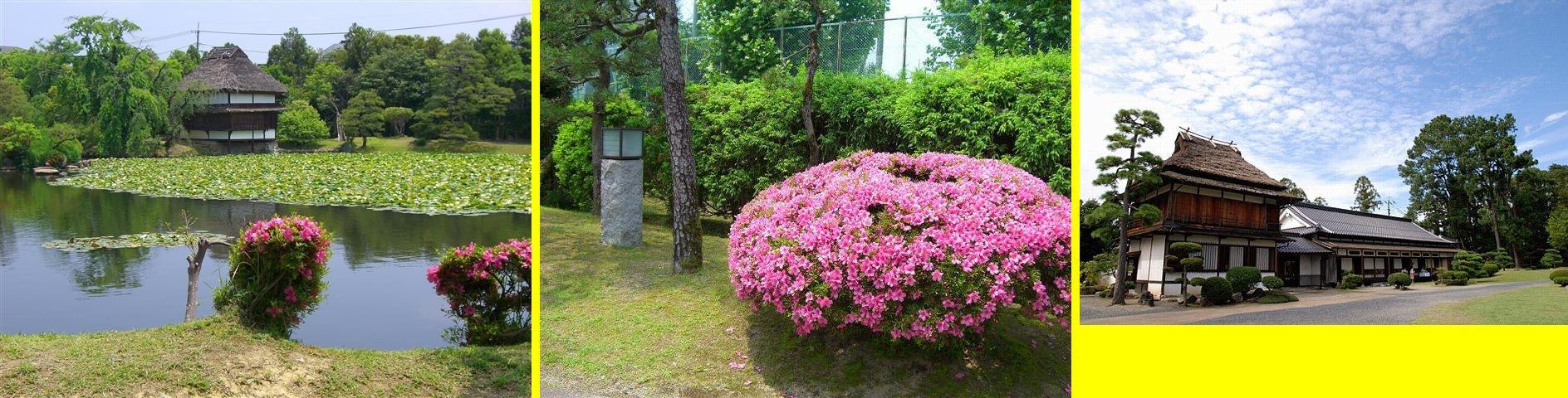 ピンクのツツジが咲き誇っています。衆楽園