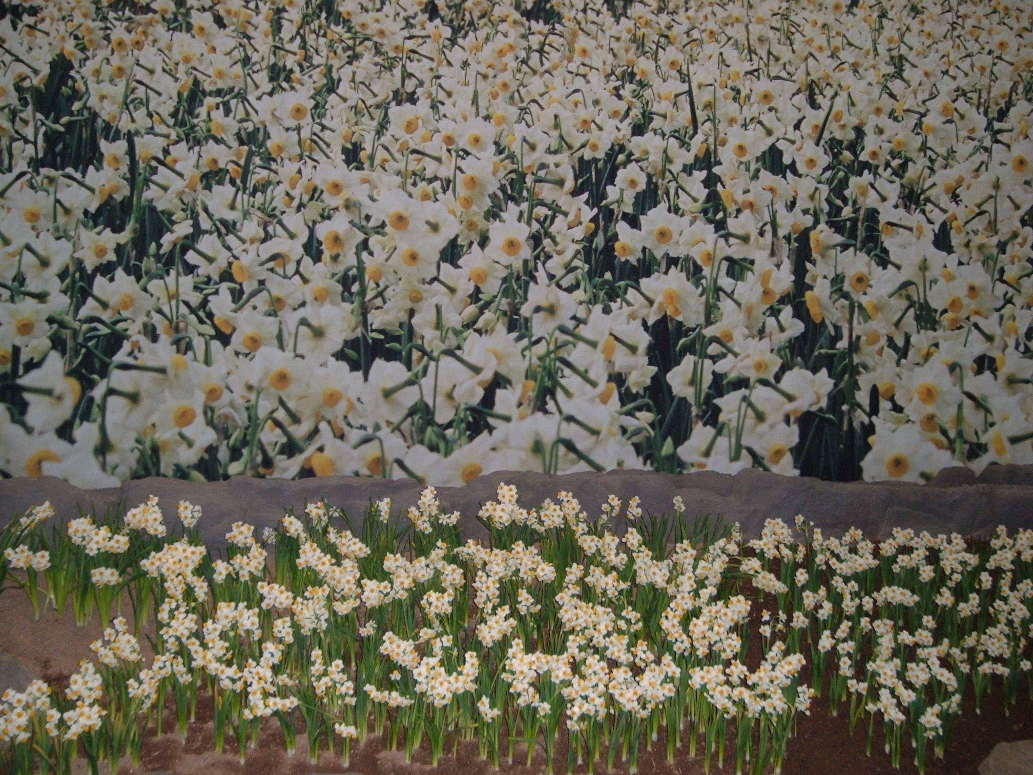 水仙の花と香り