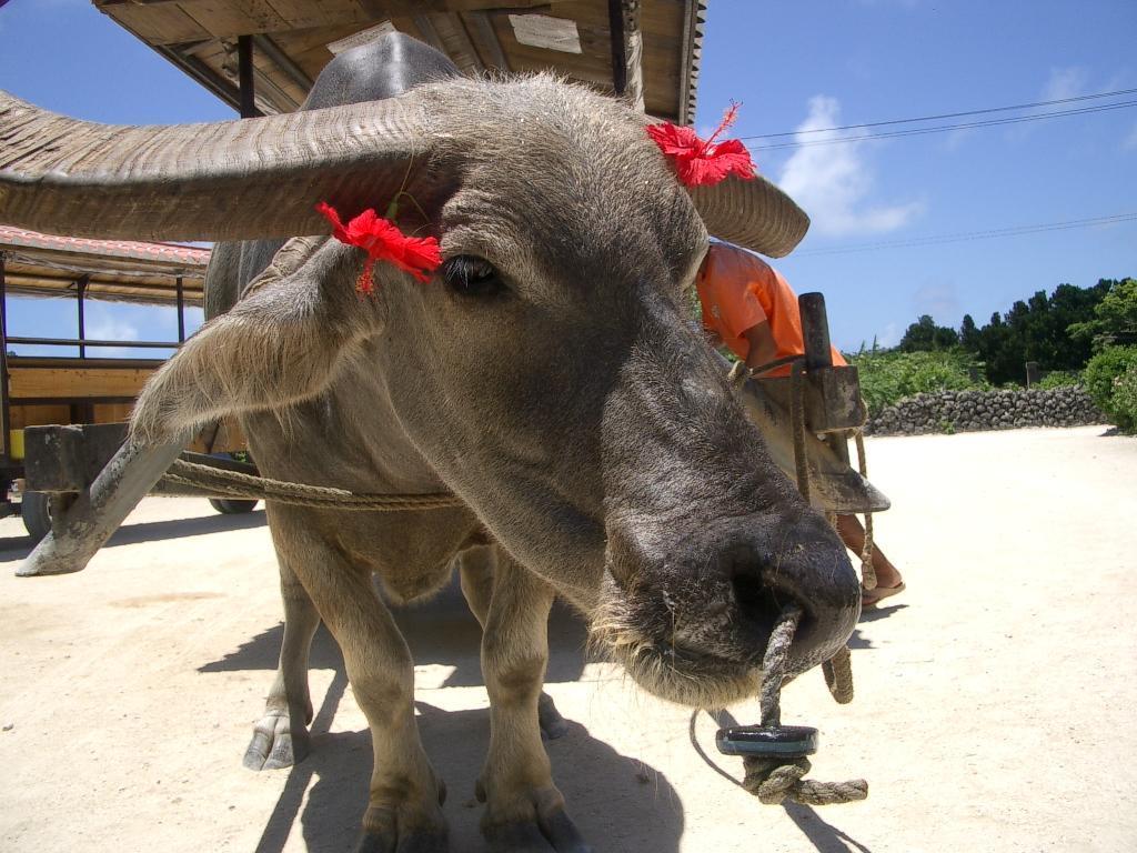 竹富島の牛車はエリートらしい。