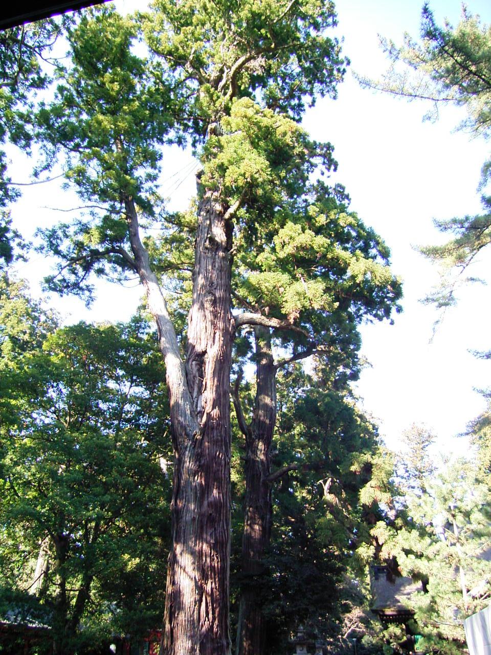 境内の大木が大迫力です