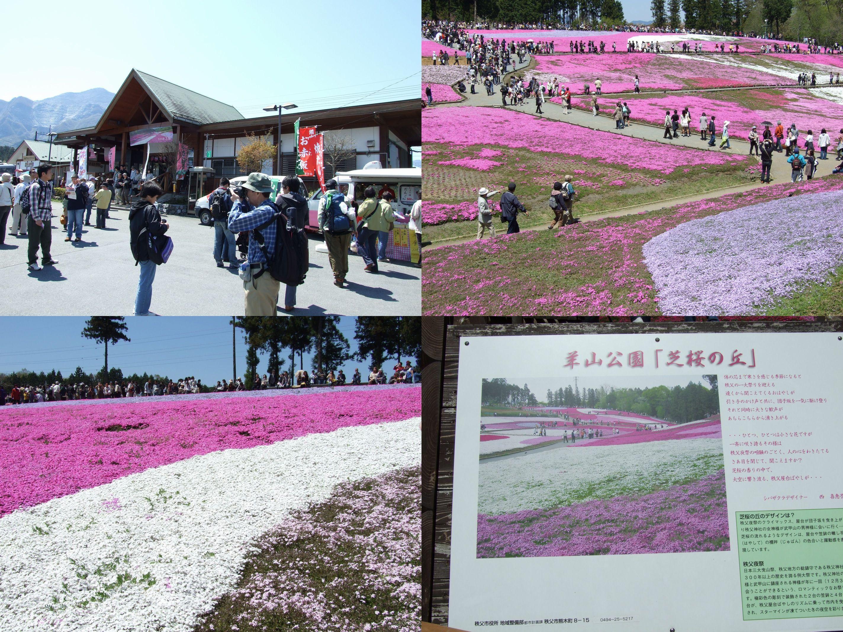 丘に咲く芝桜