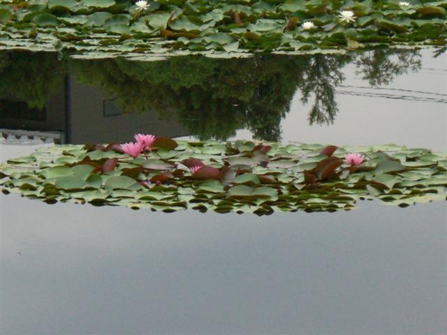 ピンクの睡蓮が1株咲いて、美しい…衆楽園